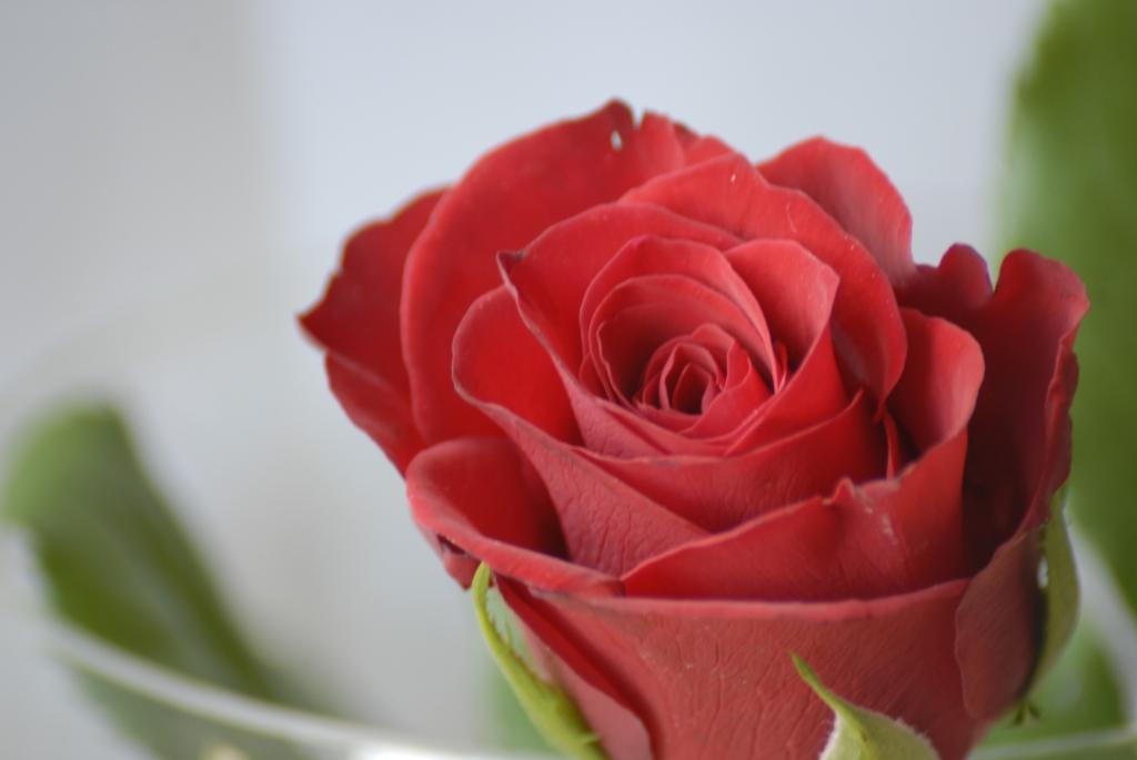 fotos martina m ller erftstadt eine rose ist eine rose. Black Bedroom Furniture Sets. Home Design Ideas